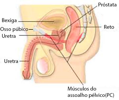 O músculo pubococcígeo